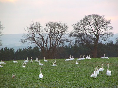 A flock of swans in a local field with the LAmmermuir hills behind